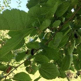 Mulberries on the mulberry tree